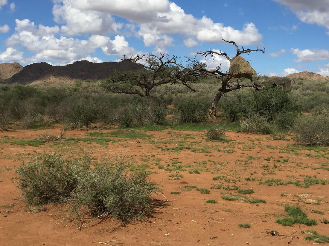 Webervogelnest von Windhoek Richtung Solitaire