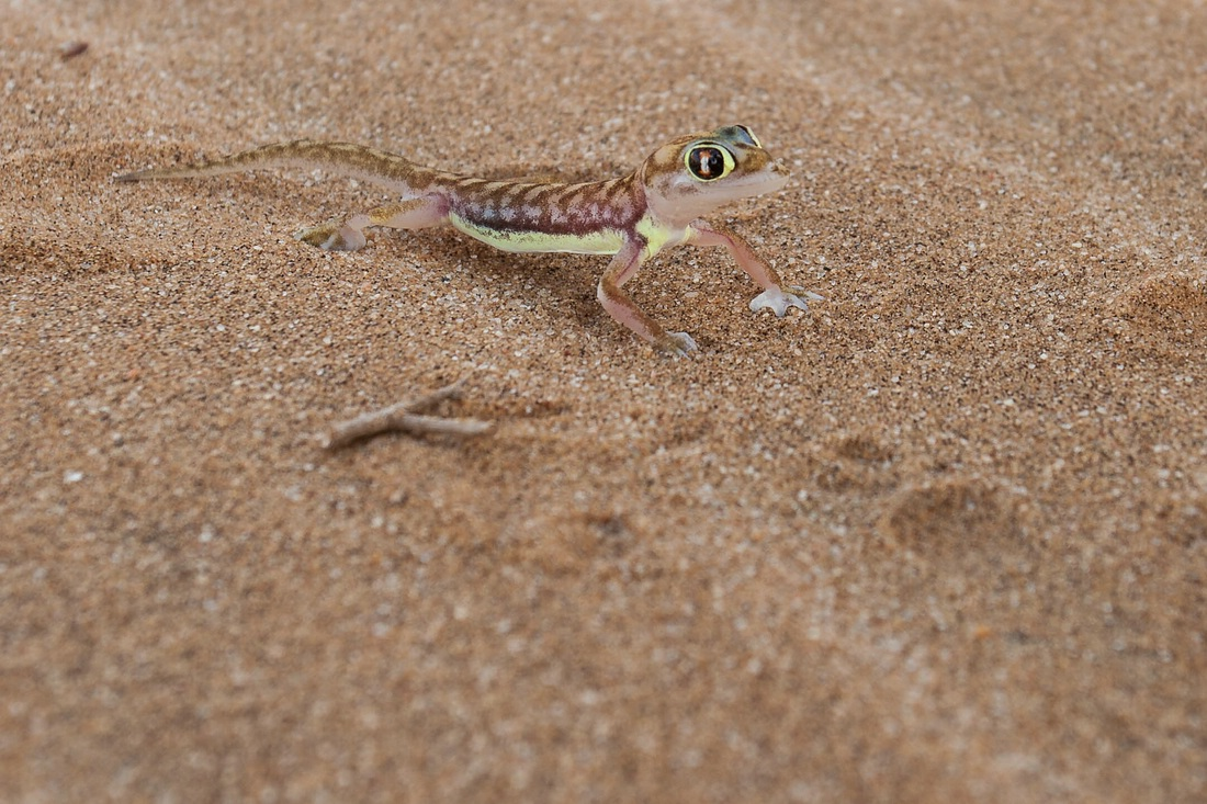 Schwimmflossengecko, Wüstengecko, Namibgecko, Dorob Nationalpark, Swakopmund, Namibia