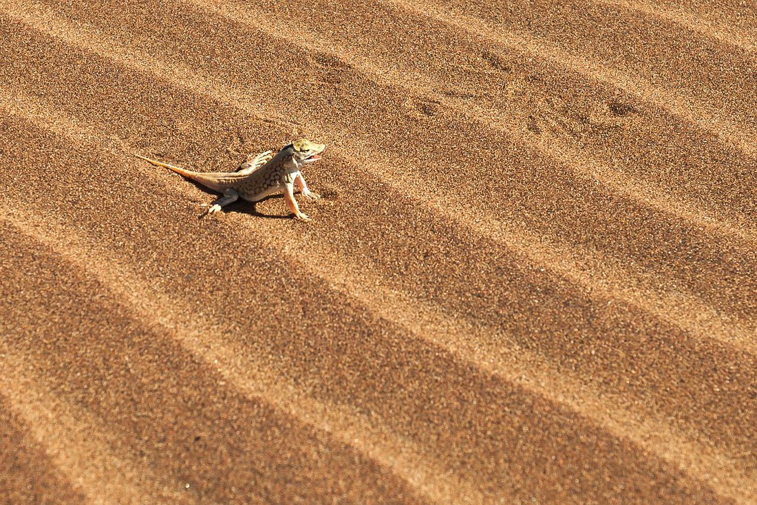 Wüsteneidechse, Dorob Nationalpark, Swakopmund, Namibia