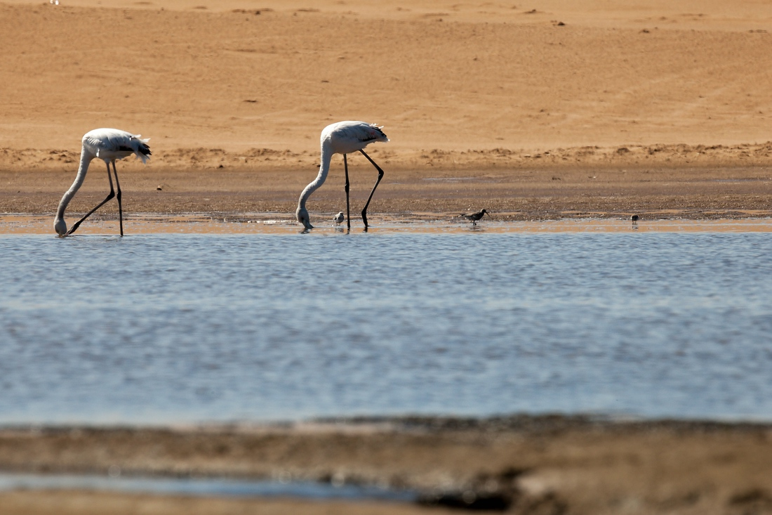 Flamingo Walvis Bay