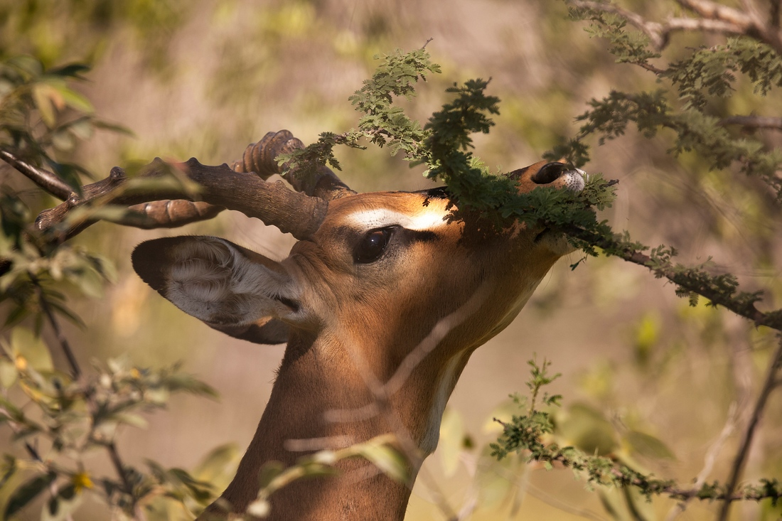 Springbock, Etosha Nationalpark