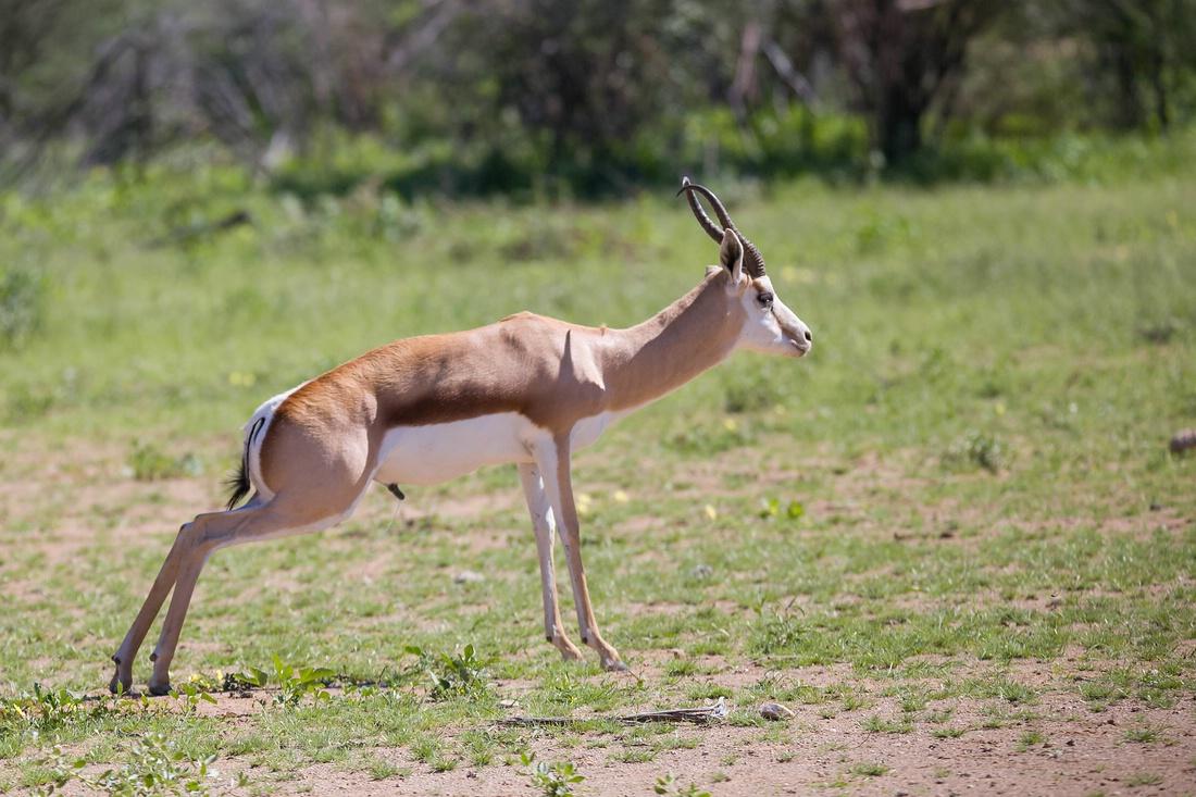 Impala, Etosha Nationalpark