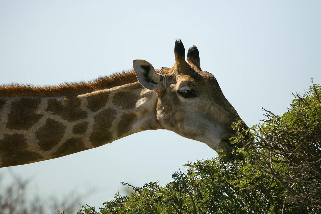 Giraffe, Etosha Nationalpark