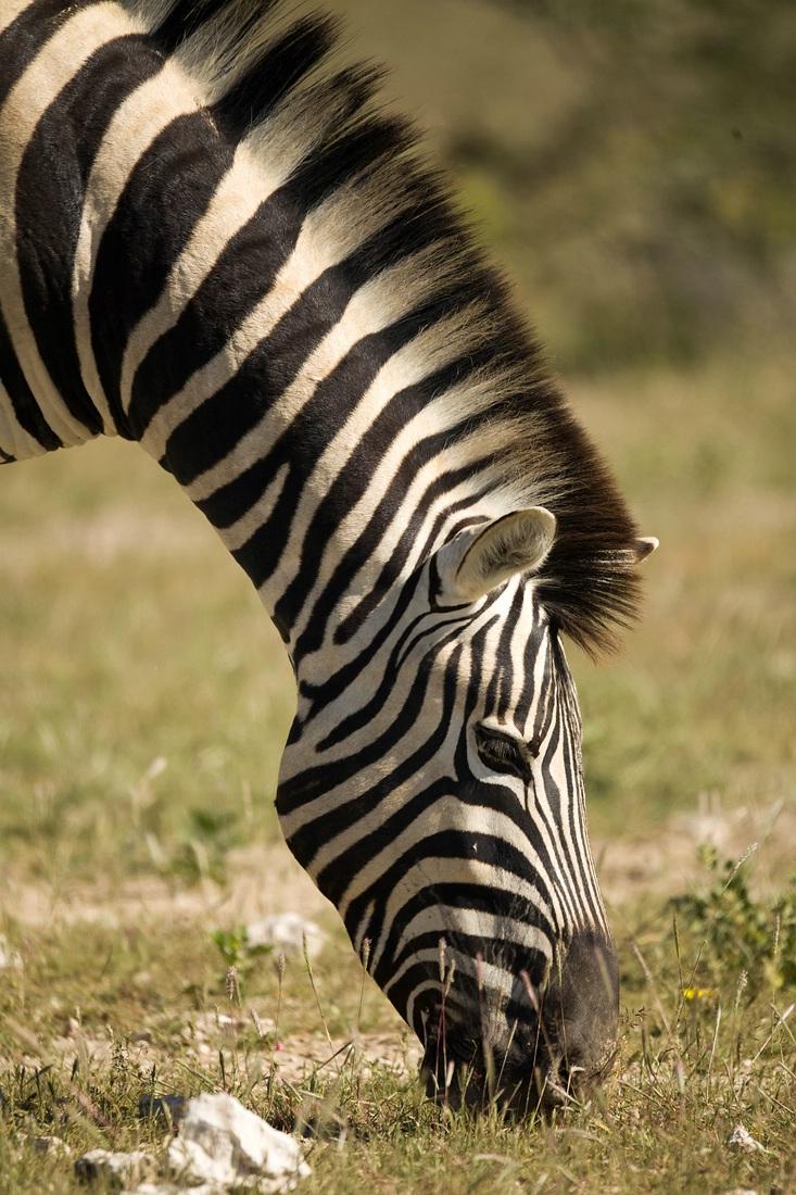Zebra, Etosha Nationalpark