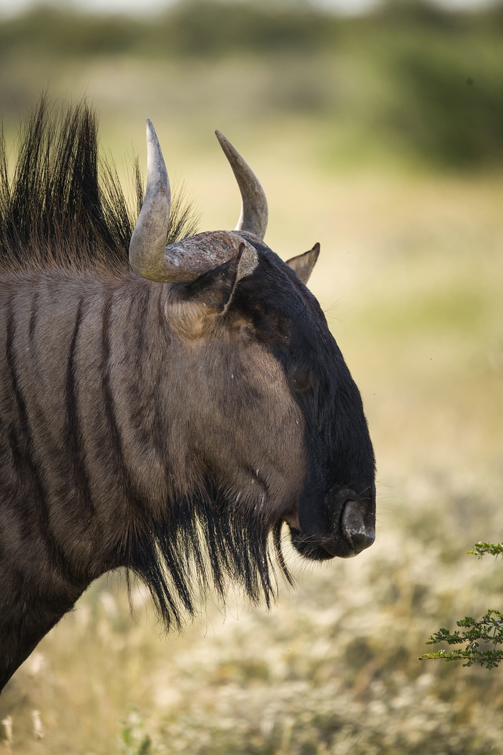 Gnu, Etosha Nationalpark
