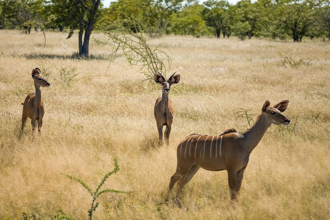 Etosha Nationalpark, Namibia, Kudu