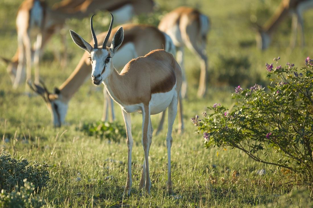 Springbock, Namibia