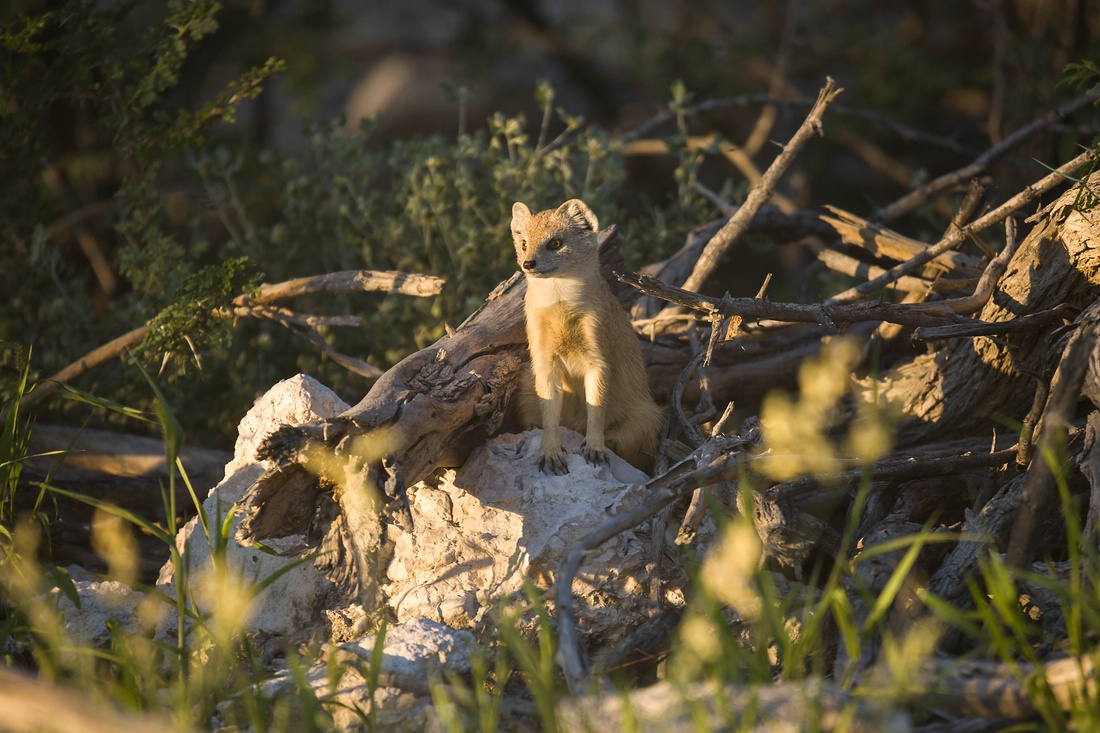 Fuchsmanguste, Namibia