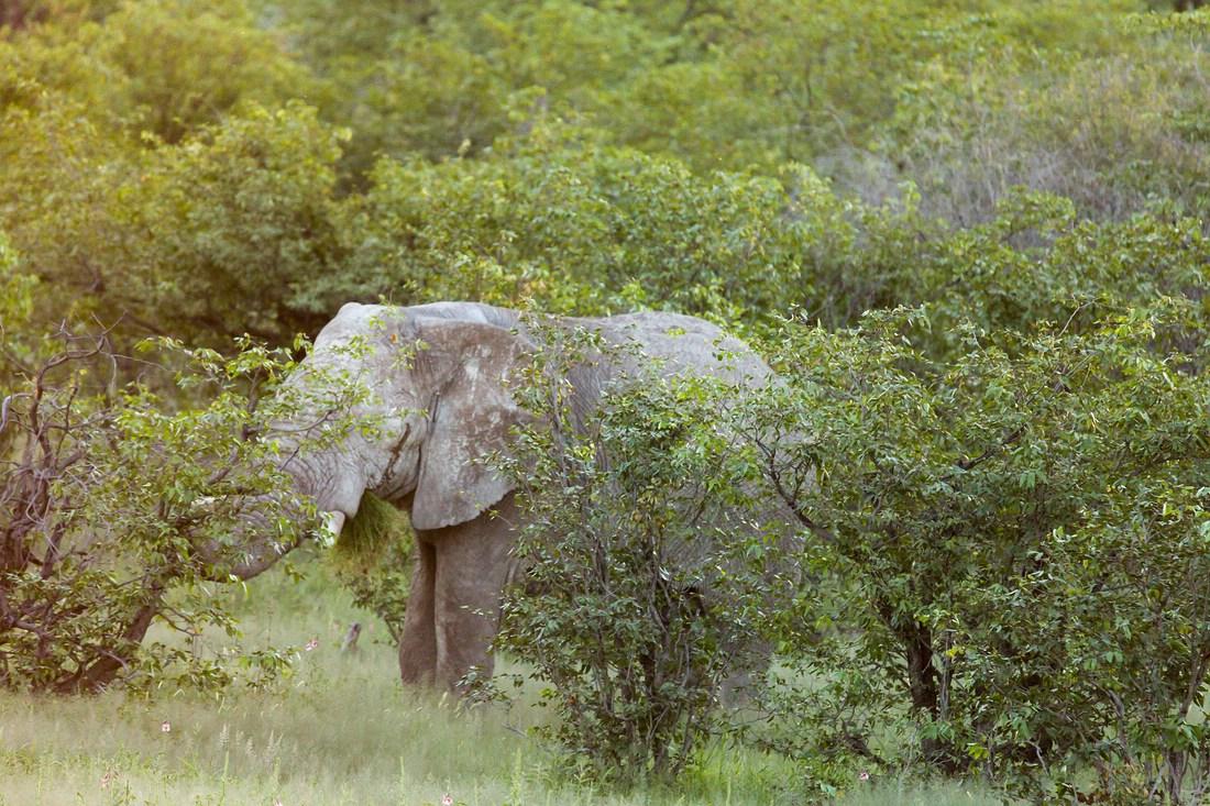 Elefant Halali