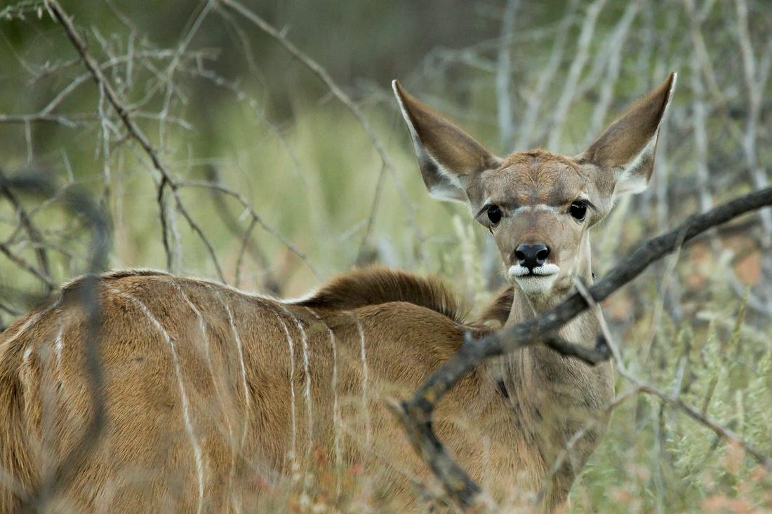 Kudu, Etosha Nationalpark