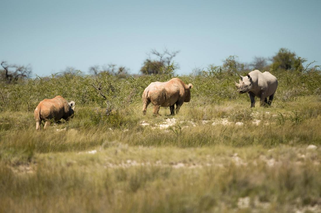 Nashörner, Etosha Nationalpark