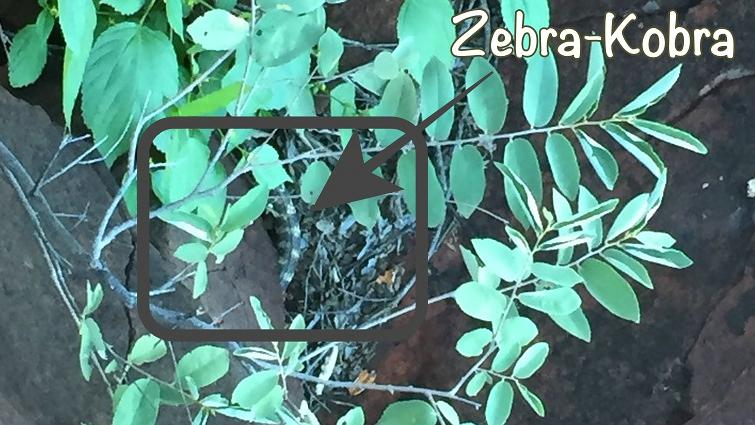 Zebra Kobra, Waterberg