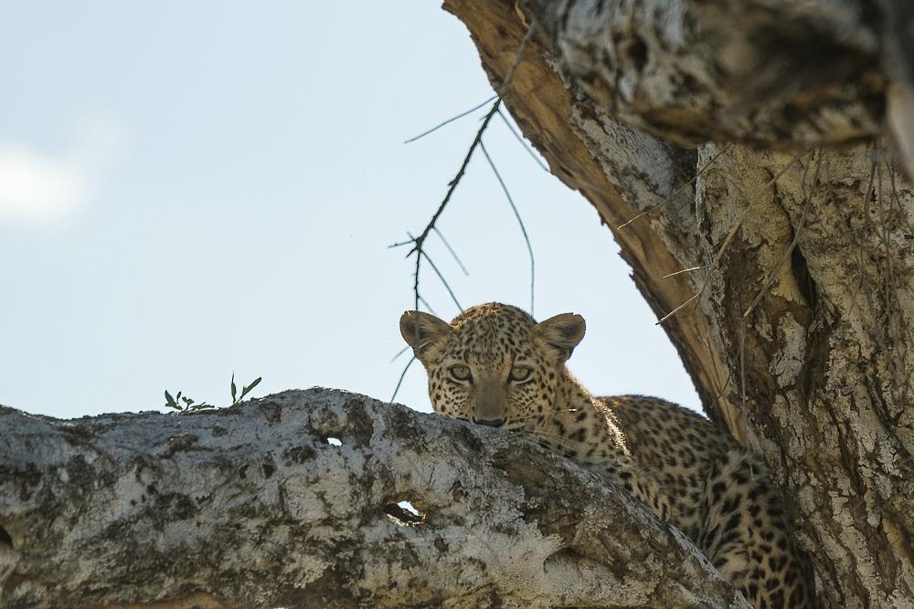 junger Leopard, Omatozu
