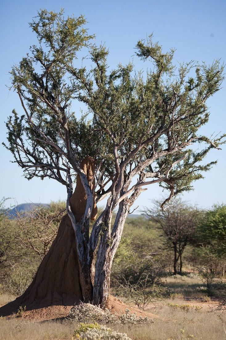Dornbusch, Namibia
